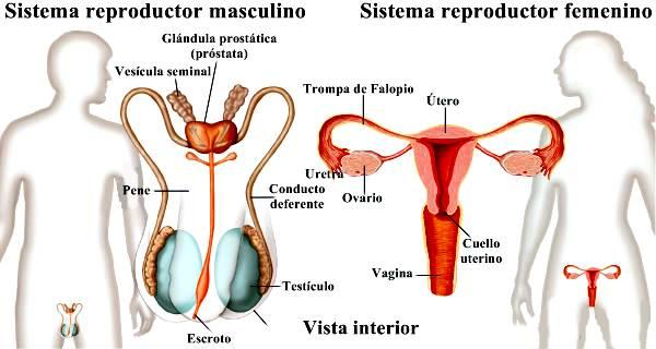 Aparatos reproductores femeninos y masculinos